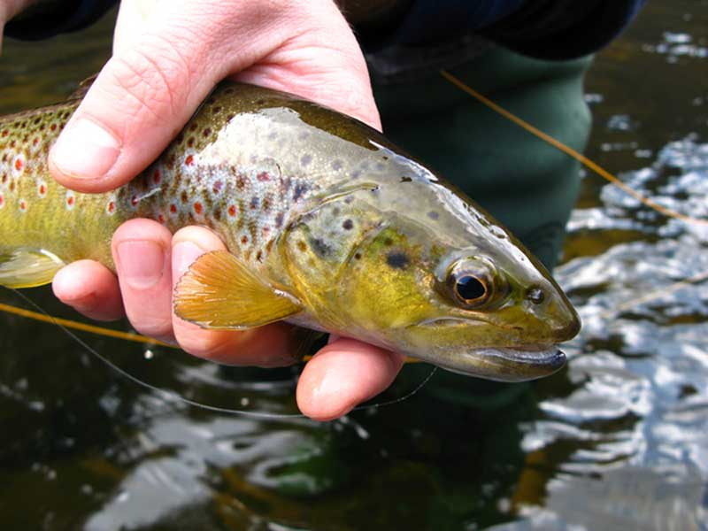 Trout in the River Teifi