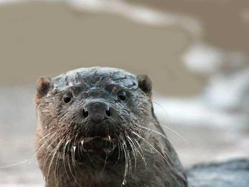 Otter on the River Teifi